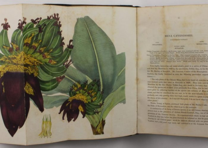 Illustration in Paxton's Magazine of Botany